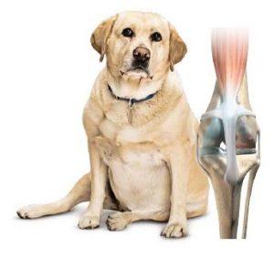 Over gewrichtsproblemen bij te zware honden