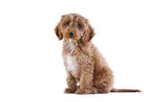 Hond in huis halen tijdens Corona niet altijd verstandig